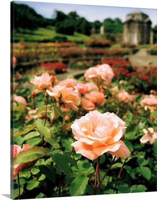 Roses in the Irish National War Memorial Gardens, Islandbridge, Ireland
