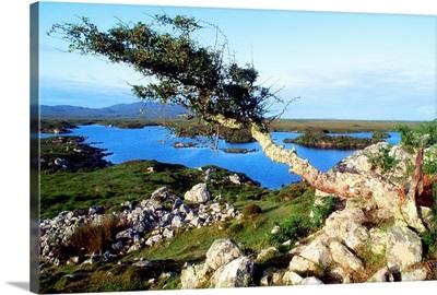 Roundstone, Connemara, County Galway, Ireland; Tree On A Bog
