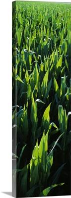 Rows of backlit mid growth pre-tassel sweet corn