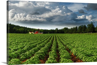Rows Of Crops In A Potato Field, Prince Edward Island, Canada