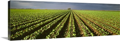 Rows of early growth Iceberg lettuce in the field