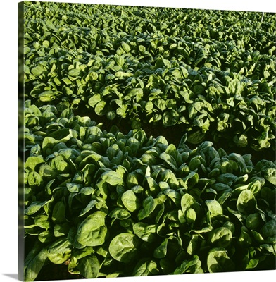 Rows of healthy mature spinach plants in early morning light