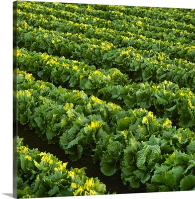 Rows of mature Iceberg lettuce sidelit by the sun