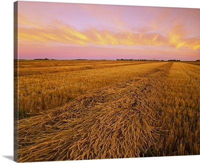 Rows of mature swathed Spring wheat, drying for harvest at sunset, Manitoba, Canada