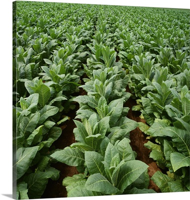 Rows of mid growth Burley tobacco plants, Tennessee