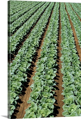 Rows of mid growth green cabbage plants