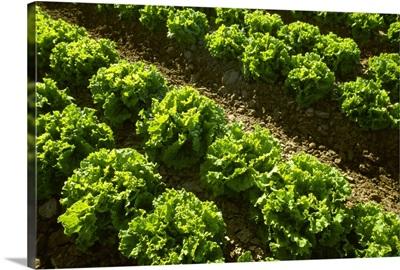 Rows of mid growth Green leaf lettuce backlit
