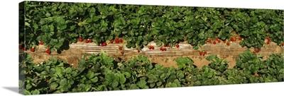 Rows of strawberry plants bearing mature fruit, Santa Barbara County, California