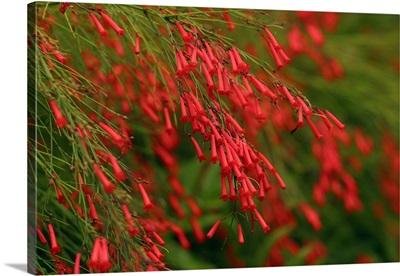Russelia Equisetiformis Firecracker Plant