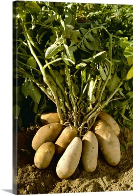 Russet potatoes attached to the root