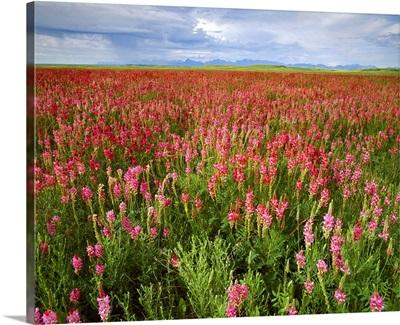 Sainfoin, a forage crop grows along Montana's Rock
