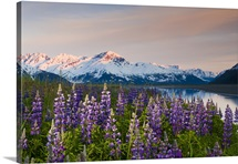 Scenic view of lupine along Turnagain Arm at sunset near Twentymile River