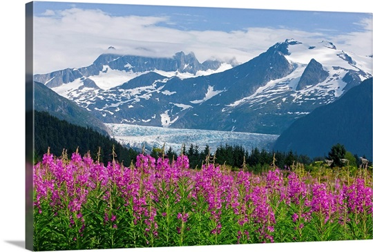 Scenic view of Mendenhall Glacier with Fireweed, Tongass National ...