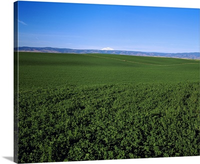 Seed alfalfa field in mid-stage green growth with Cascade mountains in background