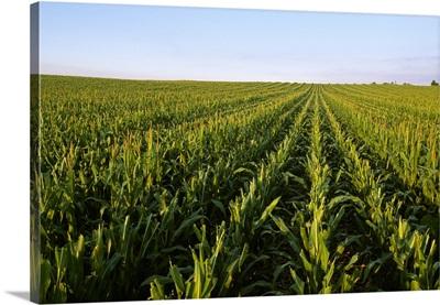 Seed corn production field