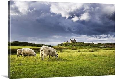 Sheep And Dunstanburgh Castle, Northumberland, Northumbria, England, United Kingdom