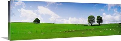 Sheep, County Wicklow, Ireland