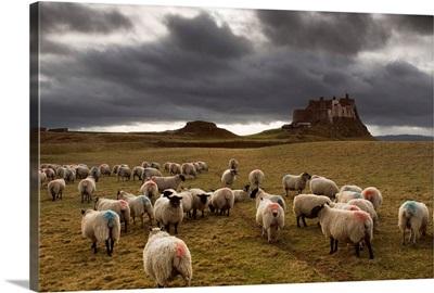 Sheep Grazing By Lindisfarne Castle, Berwick-Upon-Tweed, Northumberland, England