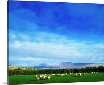 Sheep Grazing In Field, County Wicklow, Ireland