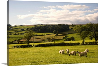 Sheep In A Field, Yorkshire, England