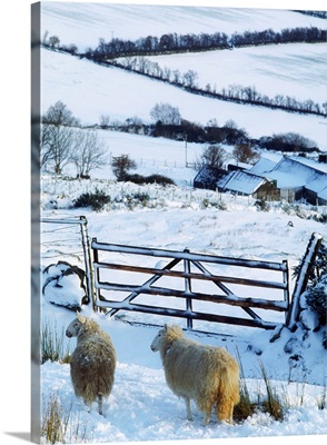 Sheep, Ireland; Sheep And A Farm During Winter In Ireland