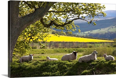 Sheep Laying On The Grass Under A Tree, Northumberland, England