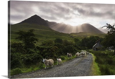 Sheep walking along a road, Black Cuillin Ridge, Glen Brittle, Skye, Scotland