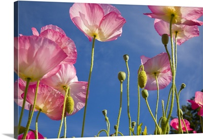 Shirley Poppies (Papaver Rhoeas), Oregon