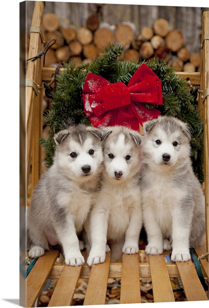 Husky Christmas Puppy.Siberian Husky Puppies In Traditional Wooden Dog Sled With Christmas Wreath Alaska