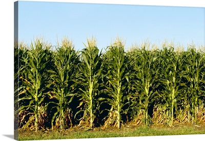 Side view of a stand of mature tasseled grain corn plants with fully formed ears