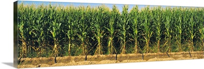 Side view of a stand of mid growth grain corn plants