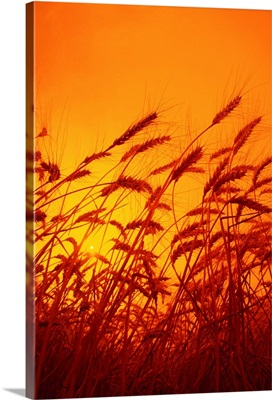 Sideview of a stand of mature winter wheat, ready for harvest, at sunset