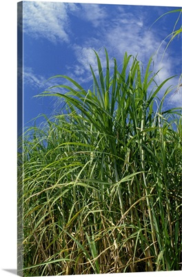 Sideview of a stand of mid growth sugarcane, Louisiana
