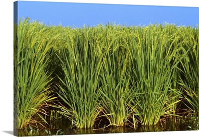 Sideview of flooded mid growth rice plants with fully formed heads, Arkansas