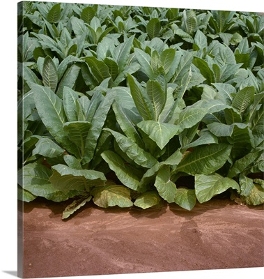 Sideview of mid growth Burley tobacco plants, Tennessee