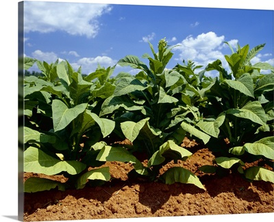 Sideview of mid growth Flue Cured tobacco plants, Tennessee