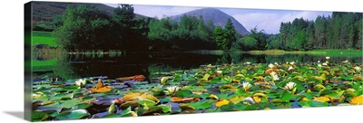 Silent Valley, Mourne Mountains, Ireland, Water Lilies With Mountain In The Background