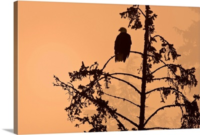 Silhouette of a Bald Eagle perched on a tree at sunset in the mist