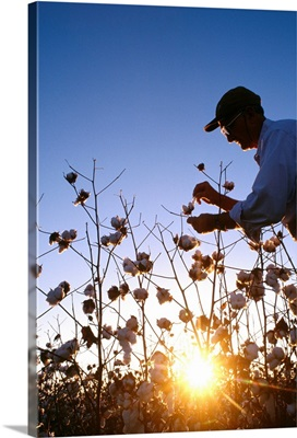 Silhouette of a crop consultant checking harvest stage cotton at sunset, Mississippi