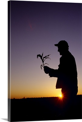 Silhouette of a farmer examining an early growth corn plant at sunrise