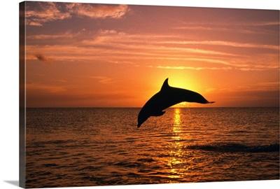 Silhouette Of Leaping Bottlenose Dolphin, Sunset, Caribbean Sea