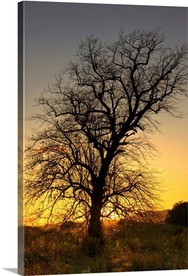 Silhouette Of Tree At Sunset, Argyll And Bute, Scotland