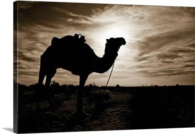 Silhouetted Camel, Sahara Desert, Douz, Tunisia