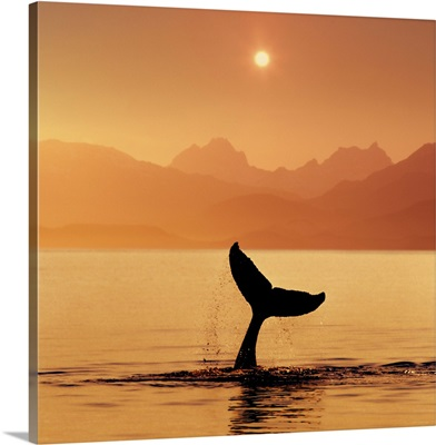 Silhouetted Humpback Whale Tail @ Sunset Lynn Canal AK SE Summer Coast Mtns