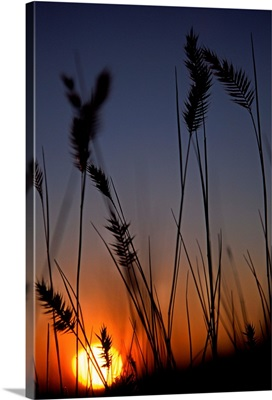 Silhouettes Of Wheat In A Farmers Field At Sunset, Saskatchewan, Canada