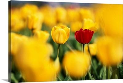 Single Red Tulip Among Yellow Tulips
