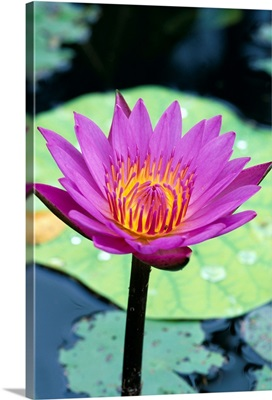 Single Water Lily Blossom On Plant, Lily Pad With Water Droplets