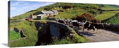 Slea Head, Dingle Peninsula, County Kerry, Ireland, Friesian Cattle On A Road