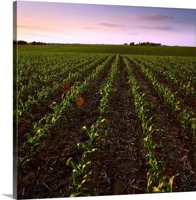Slightly rolling early growth grain corn field in early morning summer light