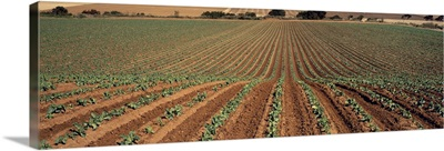 Sloping field of early growth broccoli plants